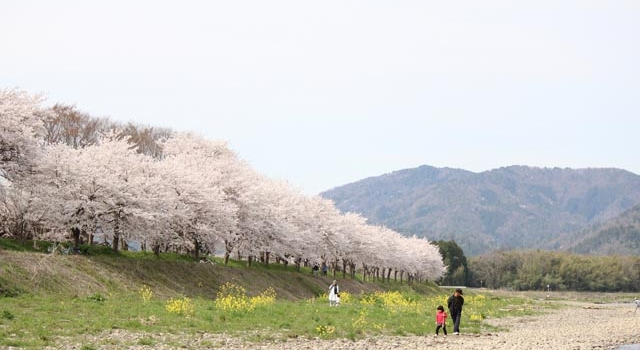 高時川の桜