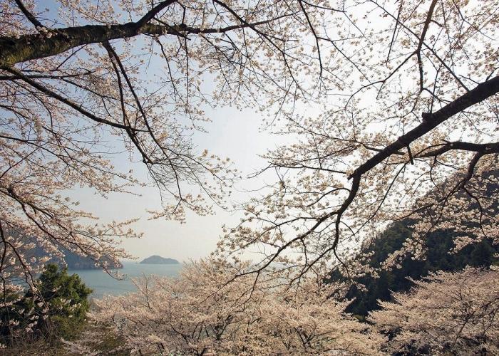 やってきた!長浜の桜シーズン