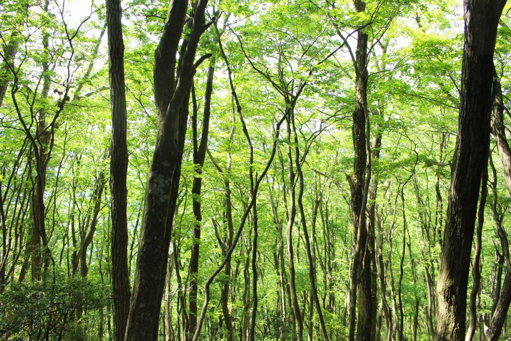 新緑の広葉樹林